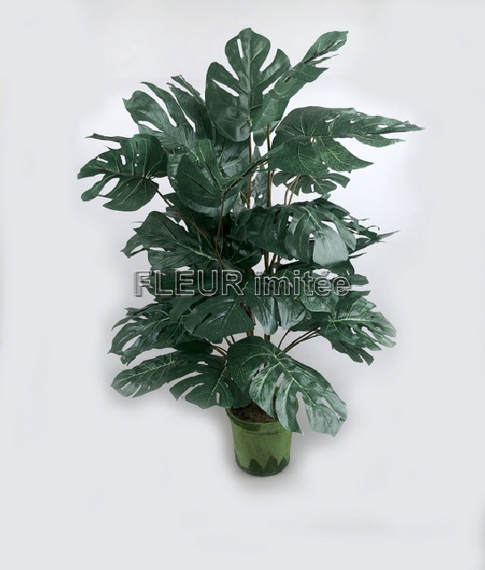 Philodendron 80cm   1/24